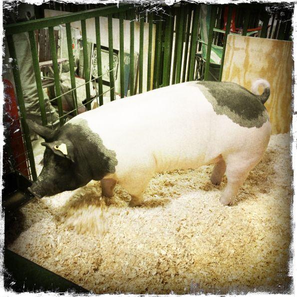 A Random Pig