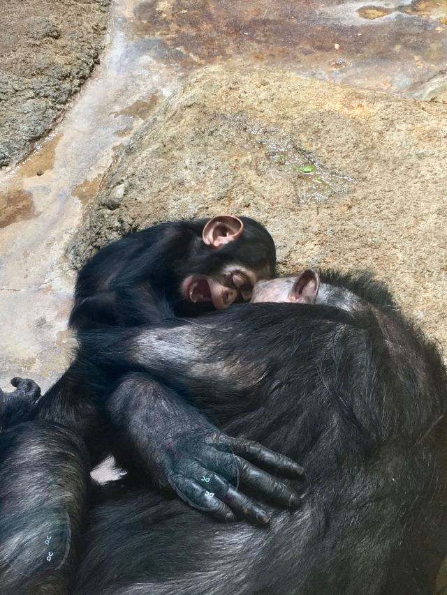 Mother and baby chimpanzees