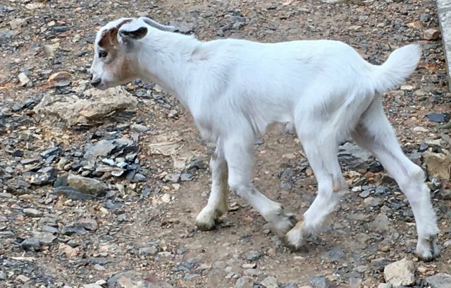 One of many goats playing by the road